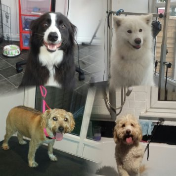 Border Collie, Samoyed, Cockapoo and Terrier