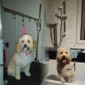 Cockapoo before and after