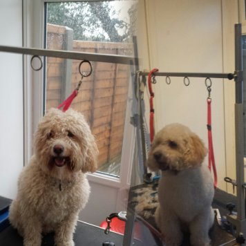 Cockapoo before and after grooming